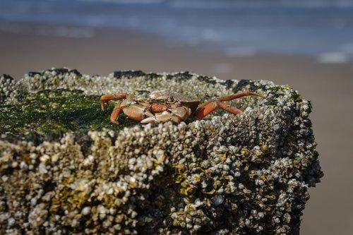 the beach crab  carcinus maenas  crab
