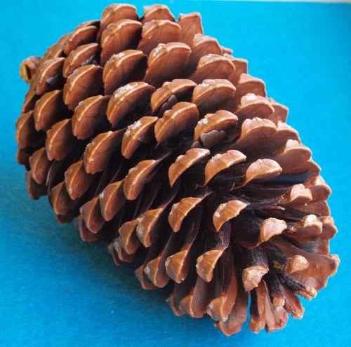 the beach pine cones pinus pinaster pinus maritima