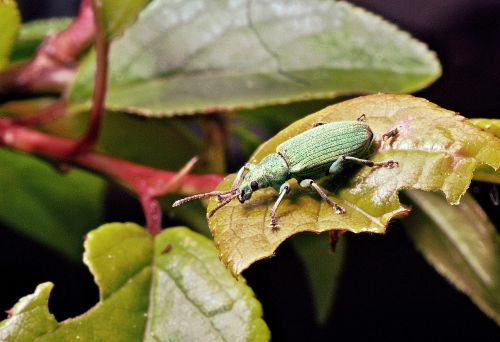 the beetle macro insect