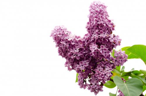 The Branch Of A Pink Lilac
