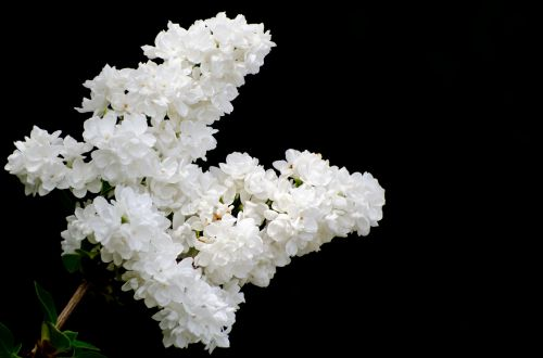 The Branch Of A White Lilac