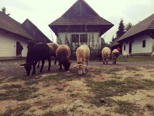 the countryside sheep hamlet