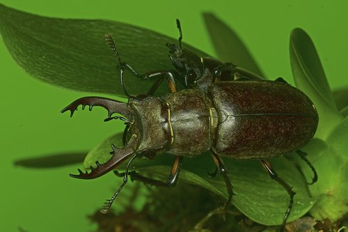 the deer bug  the stag beetle  insects