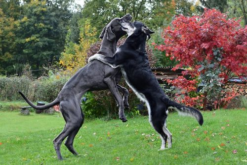 the dog a hug great dane two dogs