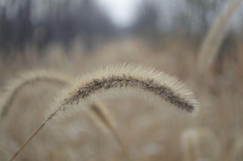 the dog's tail grass setaria viridis beauv