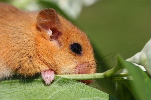 the dormouse animal branch