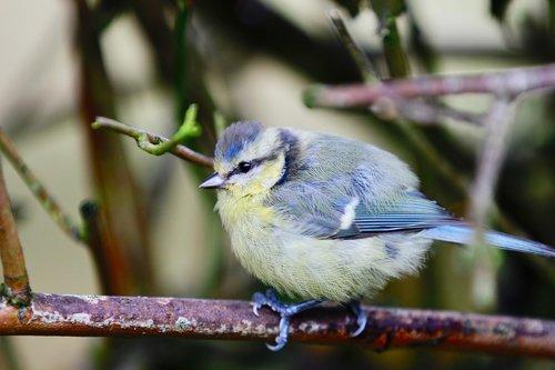 the eurasian blue tit  cyanistes caeruleus  birds