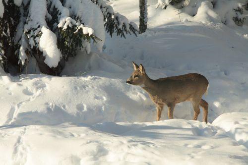 the european roe deer winter wild animal