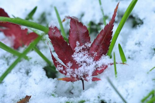 the first sight leaves maple leaf