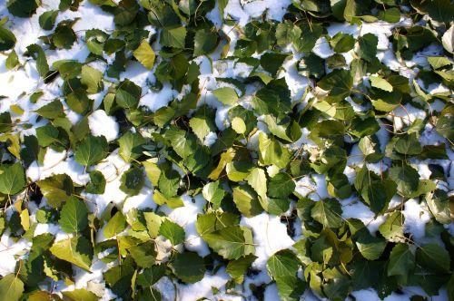 the first snow defoliation green leaf