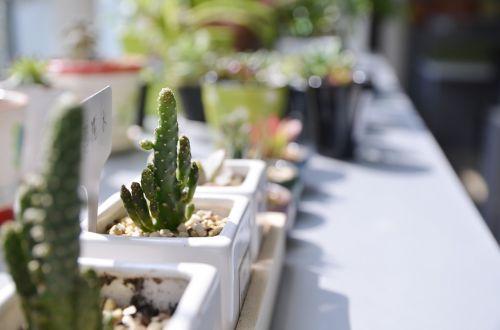the fleshy sunshine plant