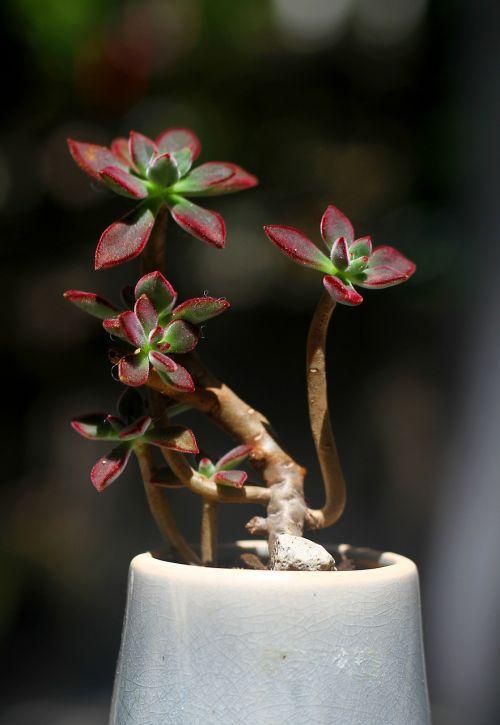 the fleshy plant jin huang xing
