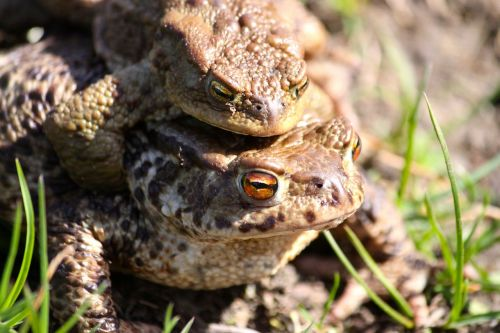 the frog toads spring