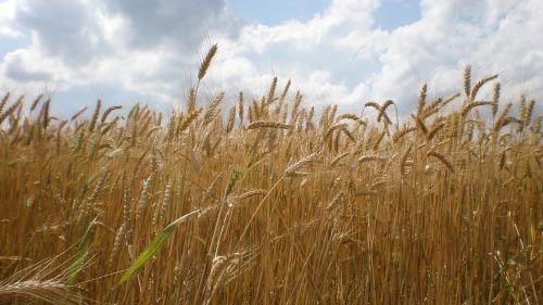 the grain ears the production of grain