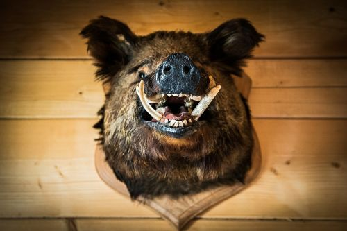 the head of the boar wild boar trophy