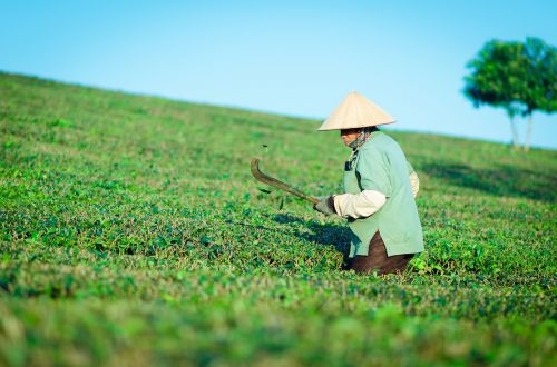 the hill tea people labor