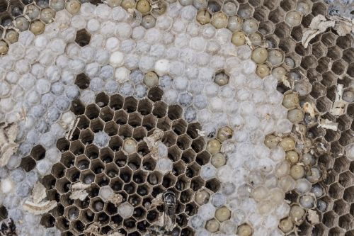 the hive wasps combs