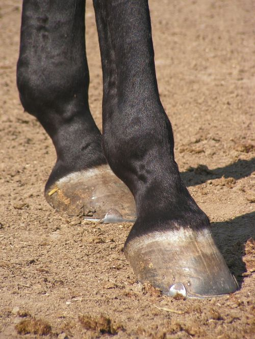 the hoof horse foot