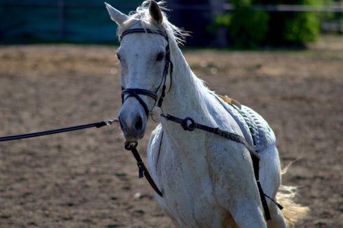 the horse white animal