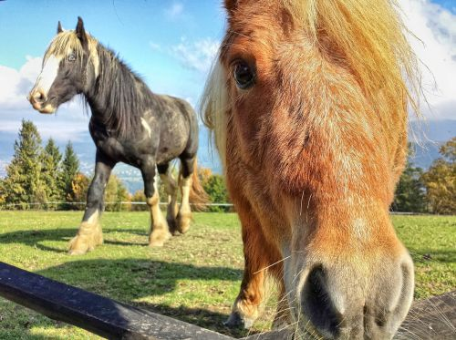 the horse konik horses