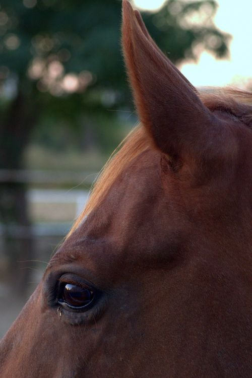 the horse eye ear