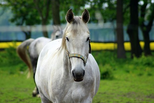 the horse  gray  stud