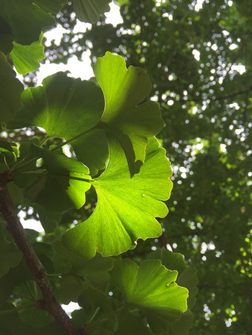 the leaves plant ginkgo