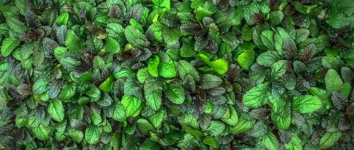the leaves plants hwalyeob