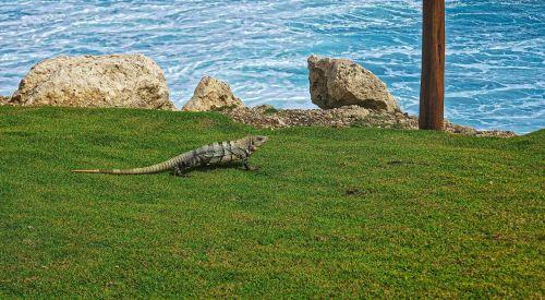 the lizard relax ocean
