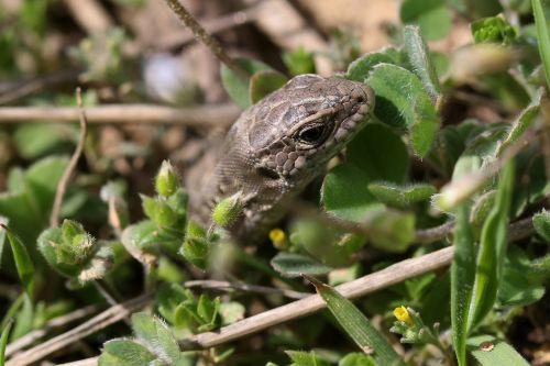 the lizard reptile hidden