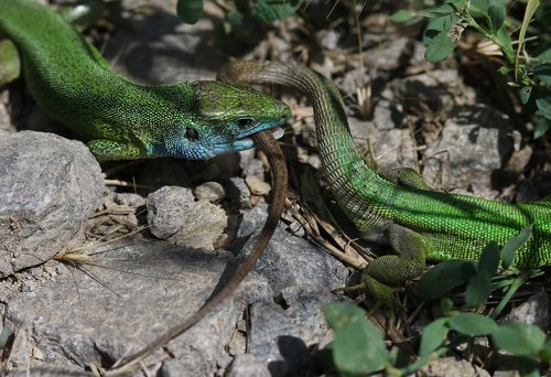 the lizard  green  struggle
