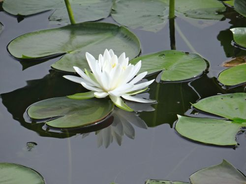 The Lone Lily
