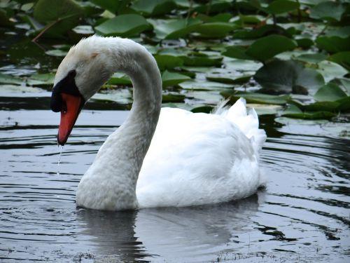 The Lovely Swan