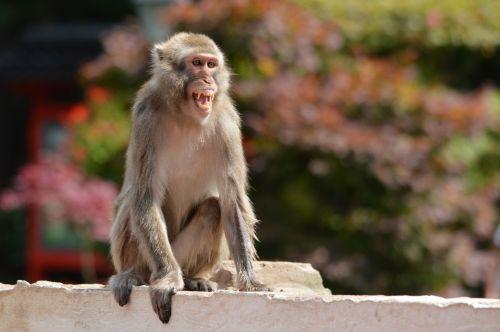 The Macaque Ape