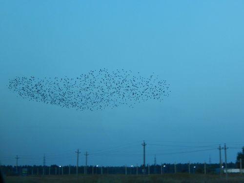 the murmuration starlings birds