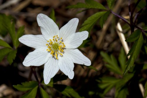 the nature of the  flower  anemones