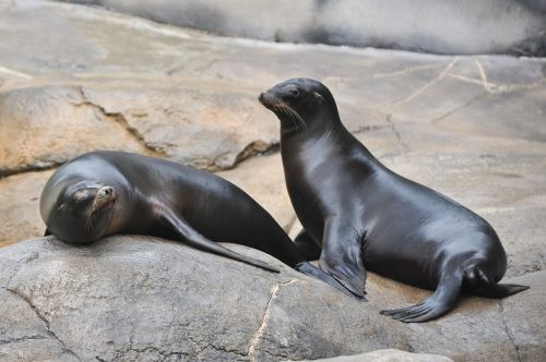 the north pacific sea lions steinmann sea lions sea donkey