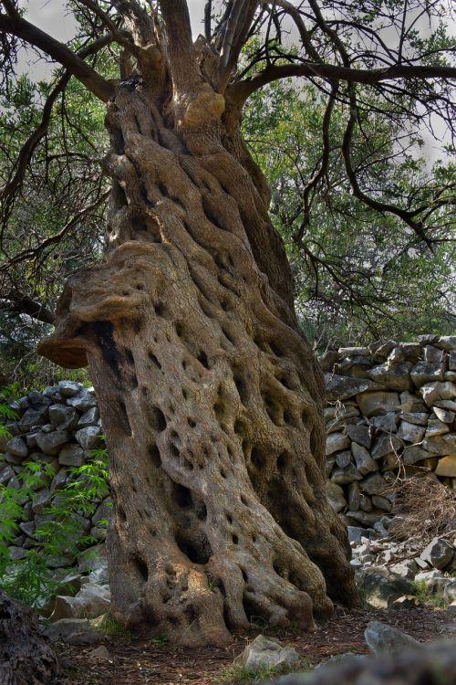 the olive tree oliva sets