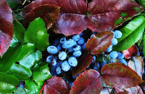 the oregon-grape berries evergreen bush berries