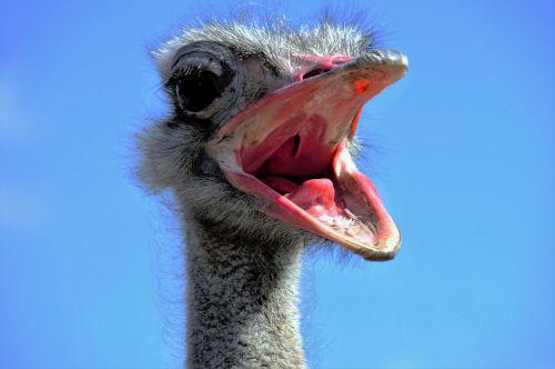 the ostrich ostrich head beak