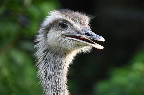 the ostrich rhea profile