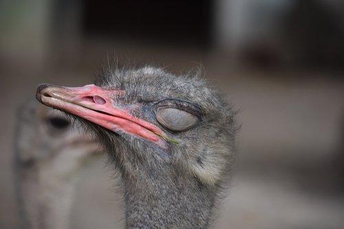 the ostrich  llama  sleep