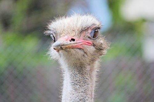 the ostrich  bird  flightless