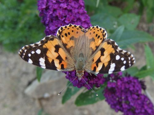 the painted lady butterfly butterfly flying insects