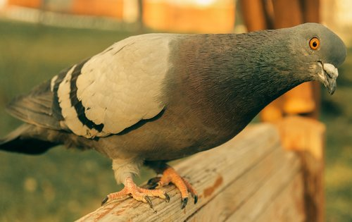 the pigeon is sitting on the bench  wild pigeon  the dove looks