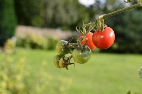 the plot bush tomatoes pepowo