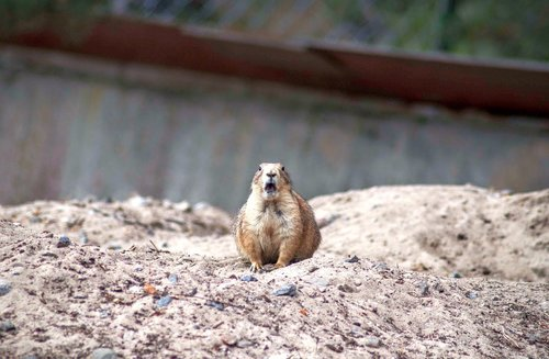 the prairie dog  surprised  rodent