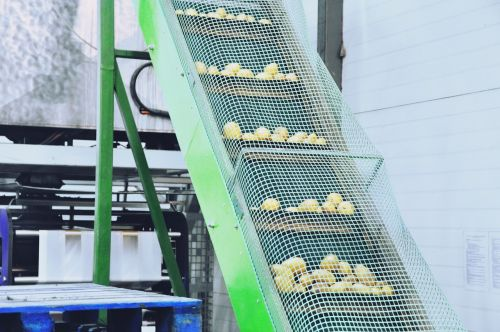 the production line potatoes sorting
