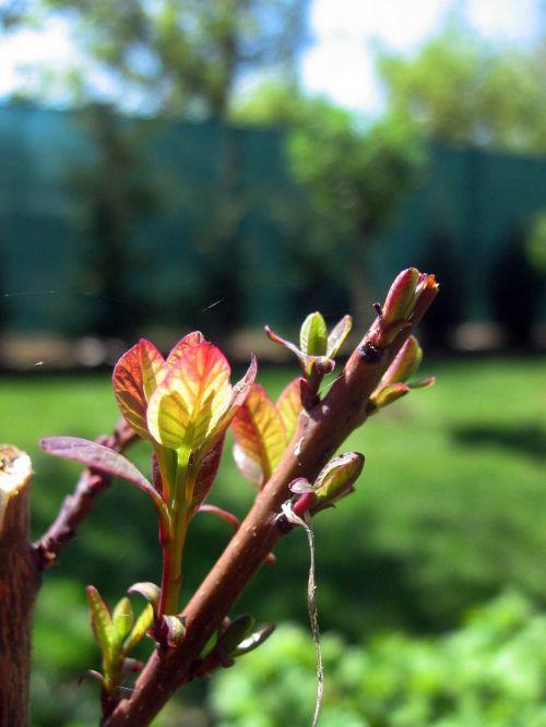 the puck tree cherry