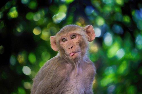 the rhesus macaque  monkey  mammal